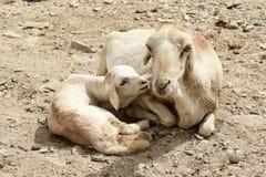 Chèvres en Ethiopie : Amour du ` s de mère Photographie stock libre de droits