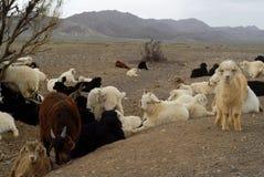 Chèvres en Mongolie Photographie stock libre de droits