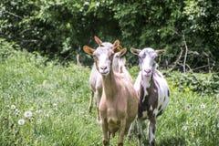 Chèvres en nature image libre de droits