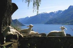 Chèvres en Norvège détendant au soleil et appréciant la vue photo libre de droits