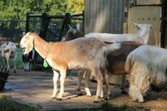 Chèvres en parc photographie stock libre de droits