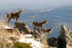 Chèvres en sierra de Gredos Photographie stock libre de droits