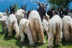 Chèvres en Suisse Photos stock