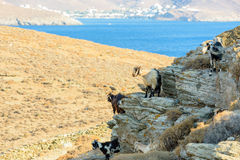 Chèvres errantes Free photographie stock