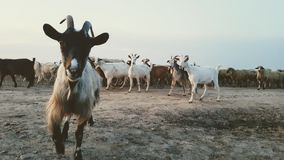 Chèvres et moutons dans Corbeanca images libres de droits