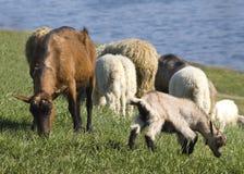 Chèvres et moutons entendus parler Photographie stock libre de droits