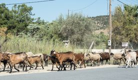 Chèvres et moutons marchant sur la route Images libres de droits
