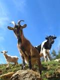 Chèvres et taureau Photo stock
