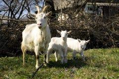 Chèvres familly Photo libre de droits