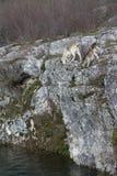 Chèvres frôlant sur la falaise Image stock