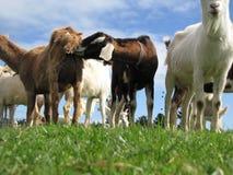 Chèvres grossières Photos stock
