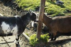 Chèvres heureuses sur le village images libres de droits