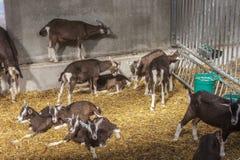 Chèvres juvéniles de Thyringen Photographie stock