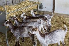 Chèvres mangeant dans une ferme domestique Photographie stock