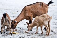 Chèvres mangeant des déchets photographie stock libre de droits