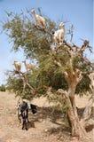 Chèvres mangeant des fruits d'argan, Essaouira Maroc Images stock
