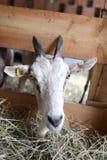 Chèvres mangeant le foin à la ferme Photographie stock