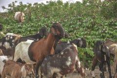 Chèvres marchant vers vous photo libre de droits