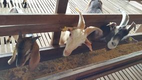 Chèvres mignonnes Photos stock