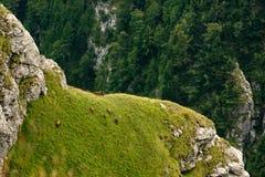 Chèvres noires sauvages sur la vallée de Caraiman Image stock