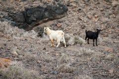 Chèvres peu communes Photo stock