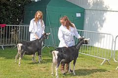 Chèvres professionnelles Images stock