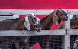 Chèvres recherchant un tapotement et un aliment amicaux photographie stock