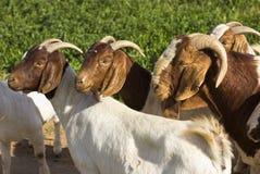 Chèvres restant dans un domaine vert Photos libres de droits
