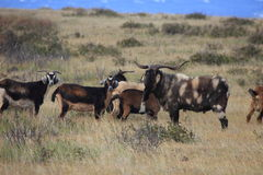 Chèvres sauvages à l'île de Pâques Photos libres de droits