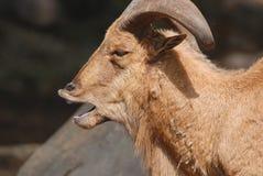 Chèvres sauvages Photo libre de droits