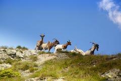 Chèvres sauvages Photos libres de droits