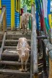 Chèvres sauvages Photographie stock libre de droits