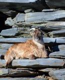 Chèvres sauvages Image libre de droits