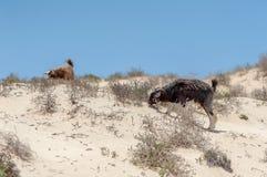 Chèvres sauvages dans le désert omanais Photographie stock libre de droits