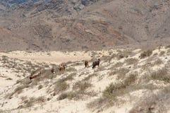 Chèvres sauvages dans le désert omanais Photos stock
