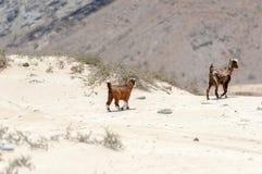 Chèvres sauvages dans le désert omanais Photo libre de droits