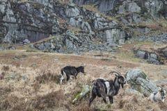 Chèvres sauvages dans le Galloway Forest Park en Ecosse Image libre de droits