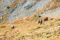 Chèvres sauvages dans les montagnes Image libre de droits