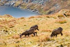 Chèvres sauvages dans les montagnes Photo stock