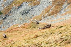 Chèvres sauvages dans les montagnes Photos libres de droits