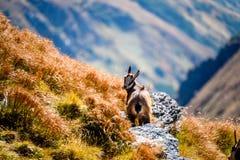 Chèvres sauvages dans les montagnes Images libres de droits