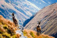Chèvres sauvages dans les montagnes Photographie stock libre de droits
