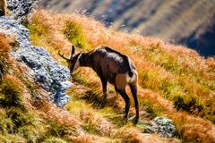 Chèvres sauvages dans les montagnes Photographie stock