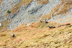 Chèvres sauvages dans les montagnes Image stock
