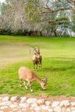 Chèvres sauvages dans Negev Images libres de droits