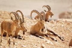 Chèvres sauvages en nature Photos libres de droits