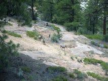 Chèvres sauvages en Zion National Park In Utah Etats-Unis Photos libres de droits