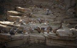 Chèvres sauvages sur des roches Photographie stock libre de droits