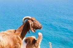 Chèvres se reposant sur une roche par la côte en Chypre Tou Romiou de PETRA Photographie stock