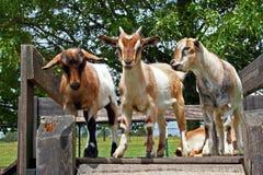 Chèvres se tenant sur le conseil en bois photos stock